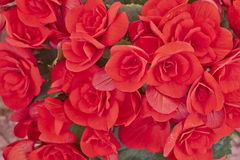 Vibrant red begonias closeup Stock Photo