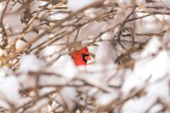 Vibrant red cardinal bird peeking through snow covered branches. In a tree or bush. Closeup of head and eye. Nature, wildlife and winter concepts Royalty Free Stock Images