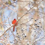 Vibrant red cardinal sitting on a branch in winter with red and. Black berries and snow. Holiday, nature and wildlife concept Stock Photography