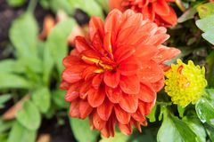Vibrant Red Dahlia Flower. Vibrant Red Flower with Green Shrubbery Royalty Free Stock Photos