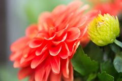 Vibrant Red Dahlia Flower Stock Photo