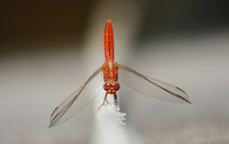 Vibrant red dragonfly. Dragonfly with a machine-like body design Stock Images