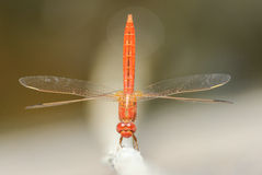 A vibrant red dragonfly. A dragonfly with a machine-like body design Stock Images