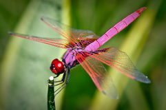 A vibrant red dragonfly up close Royalty Free Stock Image