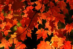 Vibrant red fall leaves. Red autumn leaves detail in the sunlight stock photos