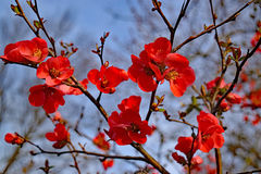 Vibrant red flowers of spitfire flowering quince with blue sky. In the background Royalty Free Stock Image