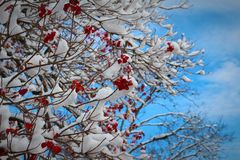Red flowers in a tree with snow. Vibrant red flowers on a tree with snow Stock Photography