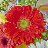Vibrant red Gerber daisy Stock Images
