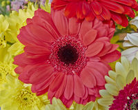 Vibrant red Gerber daisy Royalty Free Stock Photography