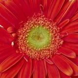 Vibrant red Gerber daisy Stock Photos
