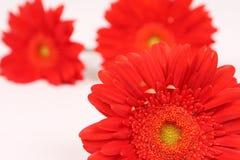 Vibrant red gerberas on white. Three vibrant red gerberas on white background Stock Image