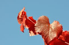 Vibrant Red Grape Leaves. Grape vine leaves in autumn turned a deep vibrant red against a clear blue sky Royalty Free Stock Photography