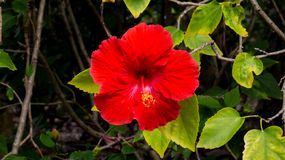 Vibrant red Hibiscus from the Bahamas. Surrounded by many green leaves stock photo