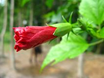 Vibrant red Hibiscus bengalensis flower bud in close up. A vibrant red Hibiscus bengalensis flower bud shot in perspective close up royalty free stock photo