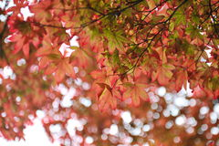 Vibrant red leaves Stock Photography