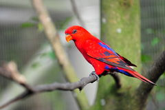 Vibrant red lorikeet Stock Photos