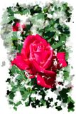 Reddish pink rose blossoms - Garden flowers blooming in the summer, watercolor splashes framing. Vibrant red-pink roses blooming on the bush - Garden in the Stock Photography