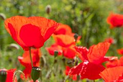 Vibrant Red Poppies. Stock Photo