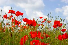 Vibrant, Red Poppies Stock Image