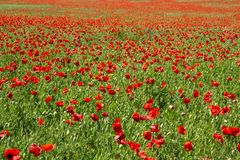 Red poppies in the sunny meadow vivid texture stock photo