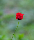 Vibrant red poppy with green background. Red poppy about to open stock photos