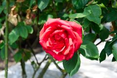 Close-up of a vibrant red rose blossom - Garden flowers blooming in the summer. Vibrant red roses blooming on the bush - Garden in the summer Stock Photos