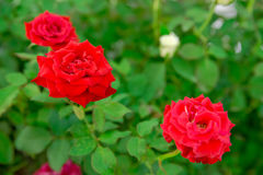 Vibrant red roses Stock Images