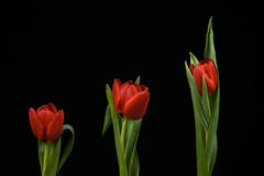 Vibrant Red Tulips On Black Background Stock Photography