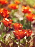 Vibrant red tulips, fresh spring flowerbed. Stock Image