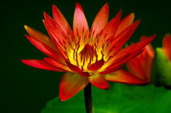 Vibrant red water Lily Royalty Free Stock Images