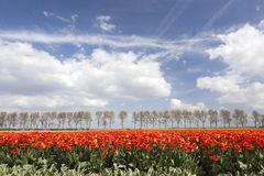 Vibrant red and yellow tulips on field with tree line and blue s Royalty Free Stock Photography