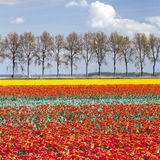 Vibrant red and yellow tulips on field with tree line and blue s Stock Image