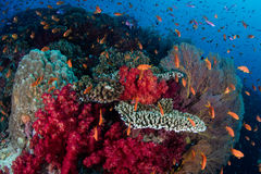Vibrant Reef and Colorful Fish. Reef fish and colorful corals flourish on a shallow pinnacle off the coast of Fiji. This island nation is known for its beautiful Stock Images