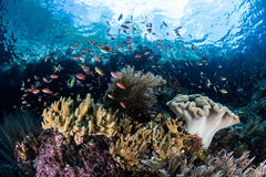 Vibrant Reef Fish and Corals in Raja Ampat Royalty Free Stock Images