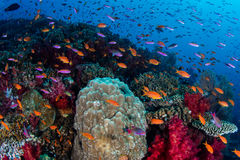 Vibrant Reef Fish and Soft Corals Royalty Free Stock Image