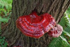Vibrant Wild Reishi Mushroom Ganoderma Tsugae growing on a Hemlock Tree. Vibrant Reishi Mushroom in the Forest. This medicinal herb is known for its immune royalty free stock photo