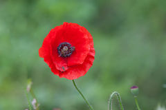 Vibrant rich red poppy in full bloom. Rich red poppy in full bloom Royalty Free Stock Image