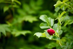 Vibrant rose bud in bush Royalty Free Stock Image