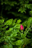 Vibrant rose bud in rose bush Royalty Free Stock Photos