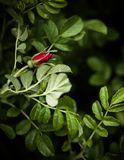 Vibrant rose bud in rose bush Royalty Free Stock Images