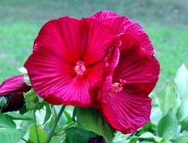 Vibrant rose of sharon. A cluster of vibrant red-purple rose of sharon flowers Royalty Free Stock Photo