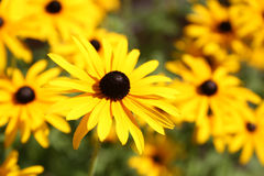 Vibrant Rudbeckia flowers, for backgrounds or textures Royalty Free Stock Images