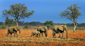 Vibrant scene of African Elephants on the open plains in South Luangwa, Zambia Stock Photography