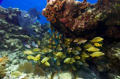 Vibrant school of snapper in the florida Keys. stock photography