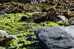 Vibrant seaweed. On sunny sea shore Stock Image