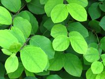 Vibrant shiny green tree bush shrub leaves. Close up view of green leaves background. Vibrant green colour. Spring, nature, environment concept. Suitable for royalty free stock photos