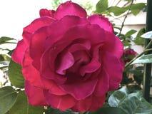 Vibrant single Red fresh soft valentine rose royalty free stock photography