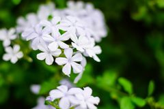 Vibrant small white flowers hanging on a green background royalty free stock image
