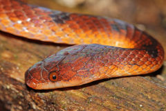 A vibrant snake in the Amazon Royalty Free Stock Photography