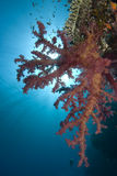 Vibrant soft coral Royalty Free Stock Photos